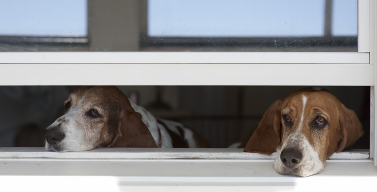 Beagles look out open window with no window treatment in Philadelphia.